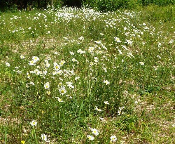 04 Moon Daisies in the clearing
