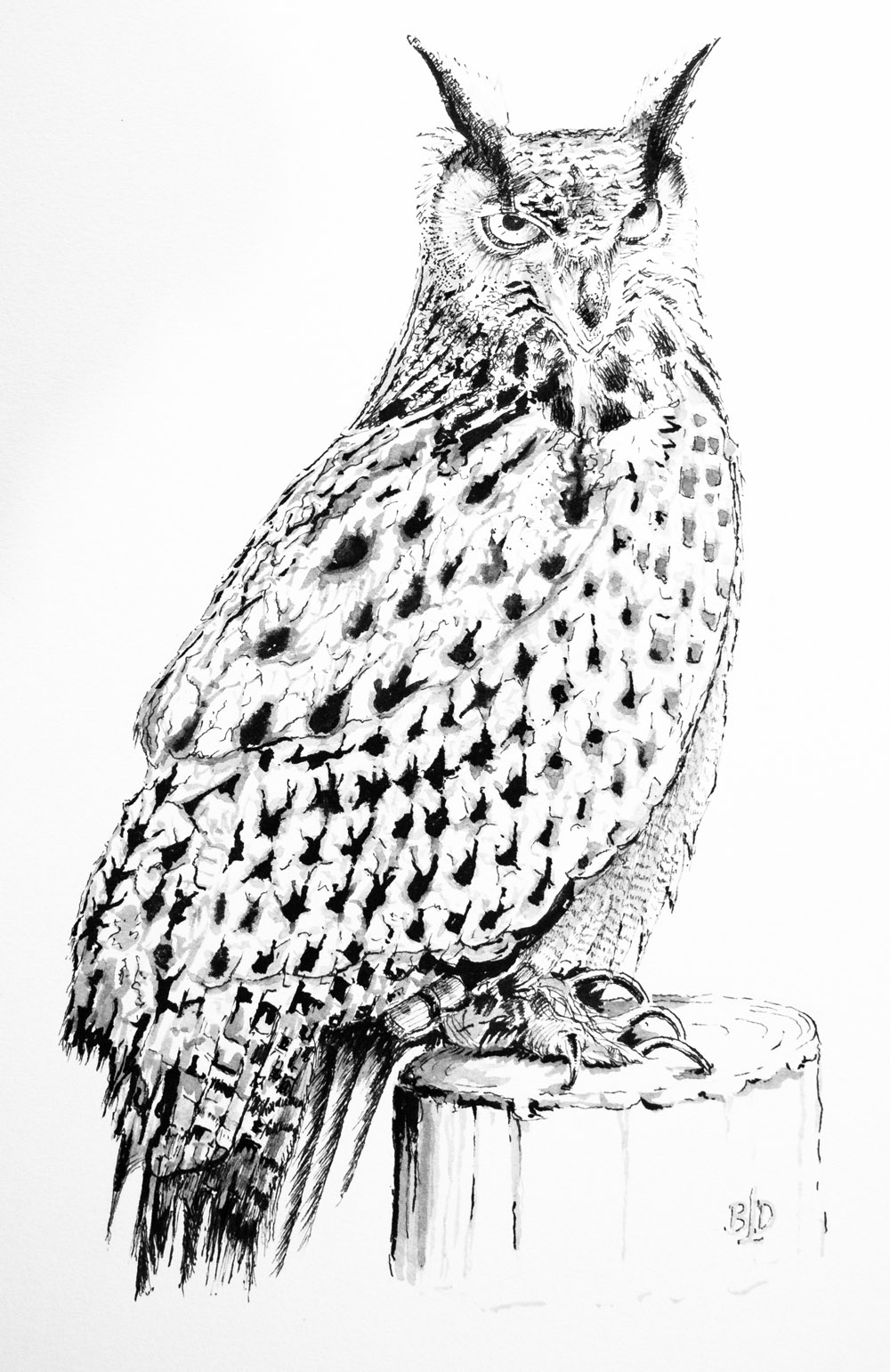 Long eared owl – Pen & ink