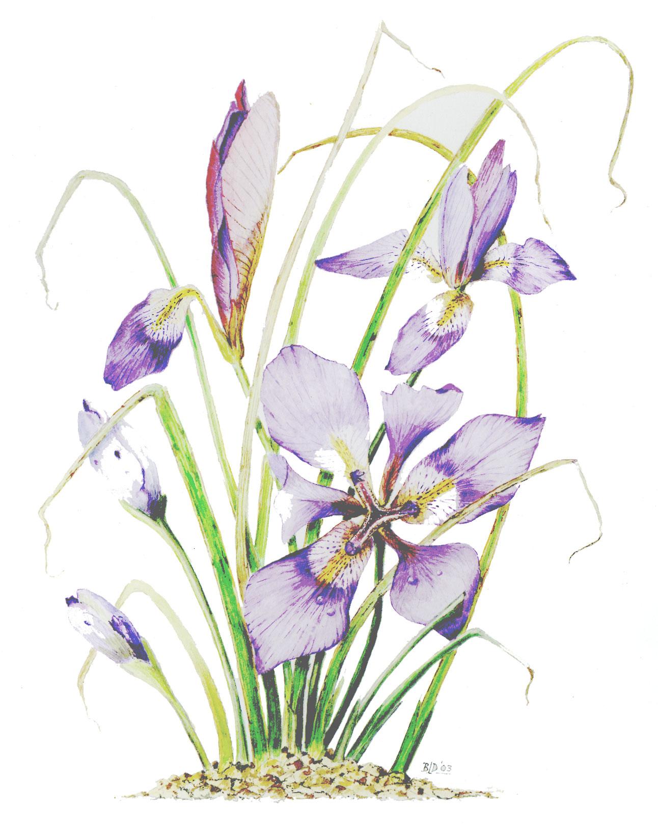 Iris Stylosa-WC